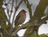 Rosenfink (Common Rosefinch)