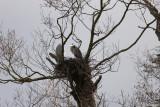Gråhäger (Grey Heron)