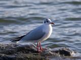 Skrattmås (Black-headed Gull)