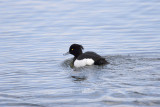 Vigg (Tufted Duck)