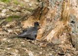 Spillkråka (Black Woodpecker)