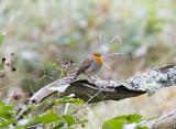 Rödhake (Robin)