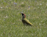 Gröngöling (Green Woodpecker)