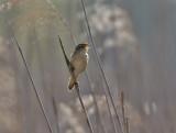 Sävsångare (Sedge Warbler)