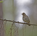 Taltrast (Song Thrush)