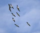 Tranor (Cranes)