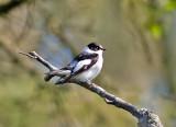 Halsbandsflugsnappare (Collared Flycatcher)
