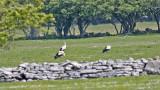 Vit Stork. (White Stork)