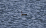 Gråhakedopping (Red-necked Grebe)