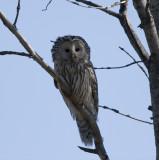 Slaguggla (Ural Owl)