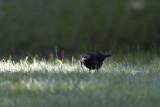 Koltrast (Blackbird)