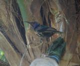 Splendid Sunbird