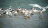 Caspian Tern, Grey-headed Gull, Whimbrel and Bar-tailed Godwit