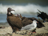 Hooded Vulture and Grey-headed Gull