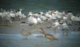 Royal and Caspian Tern