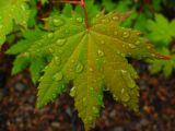 rain on maple2.jpg