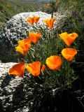 poppies in the rock.jpg