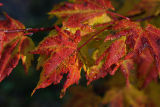 yellow and red maple.jpg