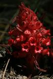 Blooming Snowplant