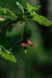 Fuschia Gooseberry Blossom