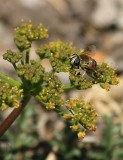 Bee Working the Sweet Fennel