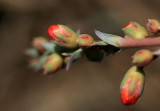 Desert Buds