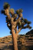 1joshua tree1.jpg