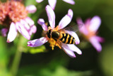 Hover Bee