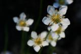 Wetland Blossom