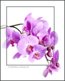 The Big Purple One ... Orchid, that is