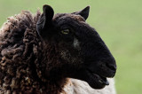 Ewe must be desperate for a lost lamb