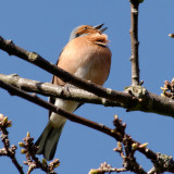 chaffinch encouraging our oak to come into leaf