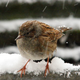 Dunnock really close