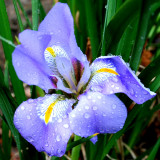 Iris - this must be a winter- flowering variety that has turned up for the 1st time this year