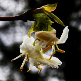 Chinese Lonicera, slightly different view