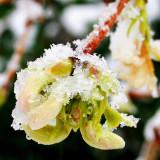 Lonicera melting its snow-hat