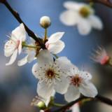 cherry plum blossom, very early