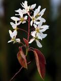 flowers of Juneberry