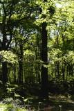 morning sunlight highlighting new oak leaves