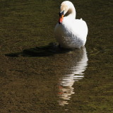 interested in swan, reflection and shadow