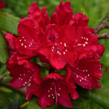 azalea - rescued a year or two back from under Leylandii hedge