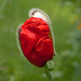 poppy unfurling - usually happens overnight