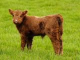calf, may be a day old