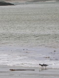 Oyster catchers on the beach at Horgabost