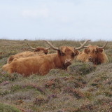 ..and now the southernmost coos in Britain on Kynance cliffs in Cornwall
