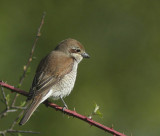 Red-backed Shrike (Törnskata) Lanius collurio