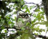Hawk Owl (Hökuggla) Surnia ulula