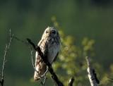 Short-eared Owl (Jorduggla) Asio flammeus