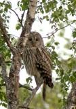 Ural Owl (Slaguggla) Strix uralensis