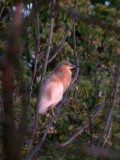 Squacco Heron (Rallhäger) Ardeola ralloides